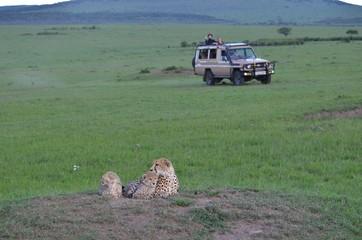 Maman guépard et ses 2 petits blottis sur un rocher avec arrivée d'un 4X4, dans la savane verte du Parc Masaï Mara, au Kenya