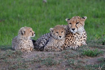 Savane du Kenya, maman guépard et ses 2 petits, Parc Masaï Mara
