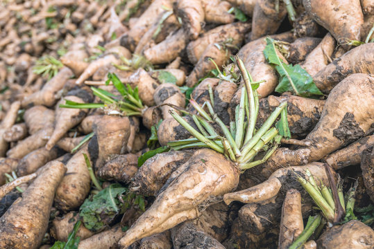 Freshly harvested chicory roots from close