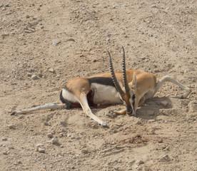 An injured Thompson's Gazelle, teeth marks on a foot