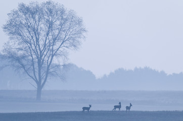 ROE DEER ON THE FIELD - Foggy autumn morning in the fields
