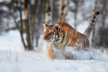 Close up Siberian tiger, Panthera tigris altaica, running in deep snow, young male in winter landscape. Freezing cold, winter. Tiger in snowy environment against birch trees in background.
