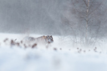 Artistic photo of big cat, Siberian tiger, Panthera tigris altaica, walking in deep snow during blizzard. Freezing cold, winter. Tiger in snowy environment against birch trees in background.