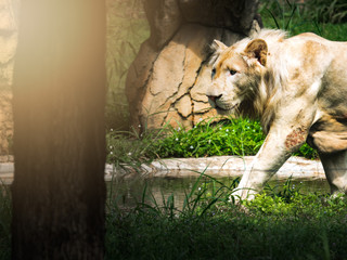 Beautiful white lion walk find food