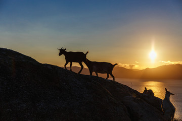Mountain goat at sunrise
