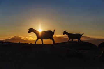 Mountain goat at sunrise