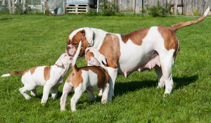 Funny American Bulldog puppy with mother