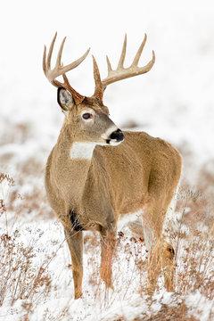 Whitetail Buck Portrait-Snow