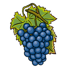 Blaue Weintraube