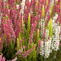 densely growing heather flowers on a flowerbed or in a field