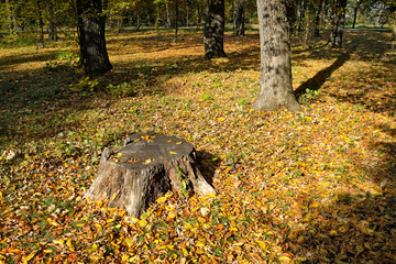 Old stump in autumn forest.