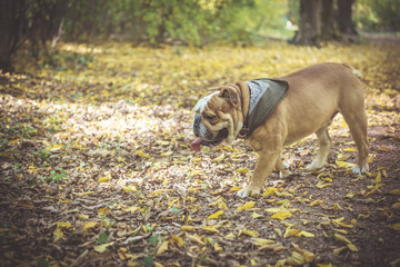 English bulldog fashionable in the woods,selective focus