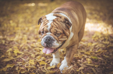 Portrait of big English bulldog in the park,selective focus