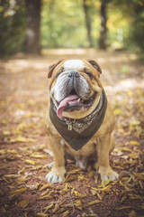 Fashionable English bulldog posing in the wood,selective focus