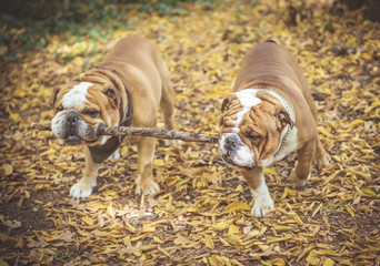 Two English bulldog playing with one wooden stick in the park,selective focus and blurred motion