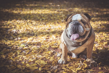 Fashionable English bulldog posing in the wood,selective focus and empty space