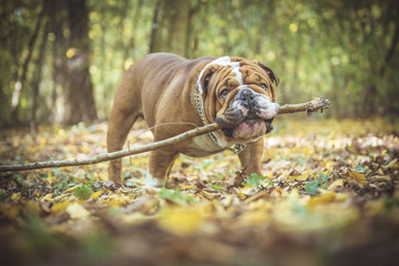 Big English bulldog holding wooden stick in his mouth