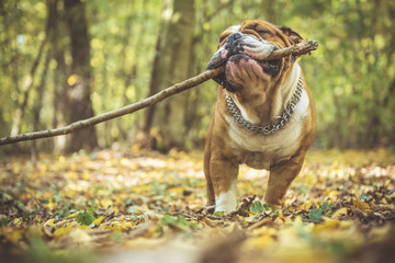 Portrait of funny English bulldog with wooden stick in the park,selective focus