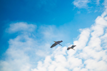 Two Pelicans Cruising in the Early Morning Sky in San Diego