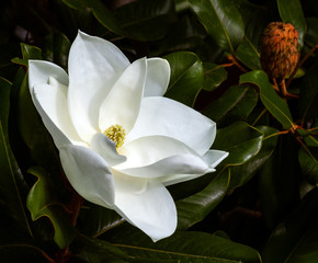Wall Murals Magnolia magnolia flower and seed pod against a dark green background