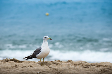 Seagull standing on a sand beach background