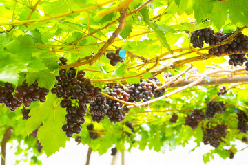 Red ripe grapes in garden