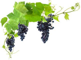 Wall Mural - vigne et grappes de raisin, fond blanc