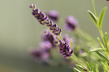 lavender flowers  on blurred green background in the morning sun