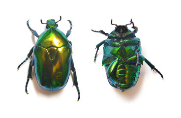 rose beetle, cetonia aurata
