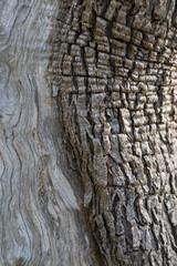 Bark of olive tree
