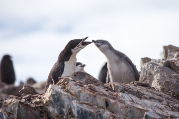 A chinstrap penguin and its chick in the south shetland islands, antarctica.