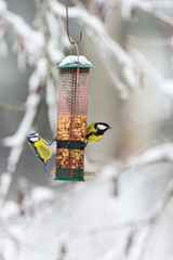 Blue tits and Great tit at a bird feeder in the garden in the winter