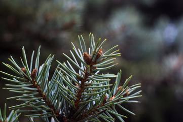 Green fluffy fir tree brunch close up