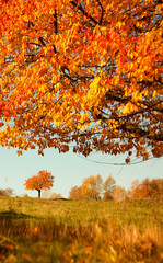 Colorful autumn leaves of a tree in the background.