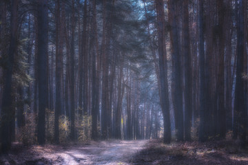 Garden Poster Forest mysterious pine forest in a light fog
