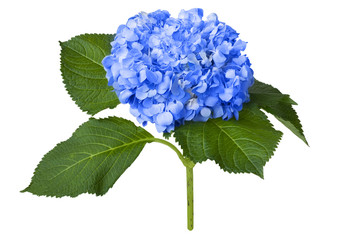 Foto auf Leinwand Hortensie Nice blue hydrangea