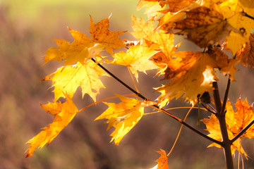 Maple leaves in autumn sunshine