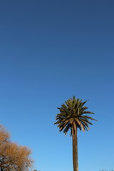 The Canary Island Date Palm Tree (Phoenix canariensis) against the  blue sky