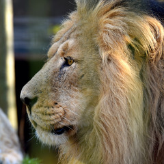 Male Asiatic lion (Panthera leo persica), also known as the Indian lion and Persian lion. Close up head side view shot of endangered big cat.
