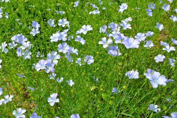 Field of blue flax