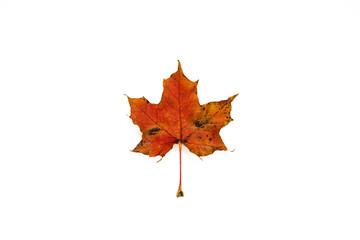 Isolated leaf on white background.