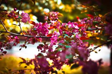 apple tree branch blossom