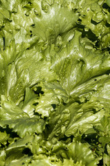Close-up of lettuce leaves in the vegetable garden