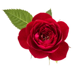 one red rose flower with leaves isolated on white background cutout