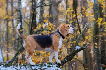 Beagle dog climbed the tree in the forest