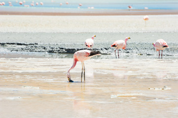 Pink flamingo in the lagoon, plateau Altiplano, Bolivia.