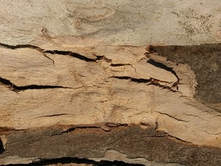 eucalyptus écorce
