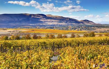 Yellow Leaves Vines Rows Grapes Fall Vineyards Red Mountain Benton City Washington
