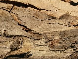 photo écorce eucalyptus