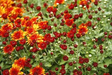 Chrysanthemum flowers, chrysanthemums in autumn, chrysanthemum wallpaper.